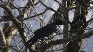 Black Bird in California