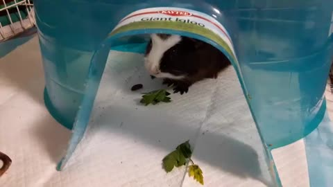 PARSLEY EATING GUINEA PIG