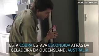 Cobra é encontrada em geladeira na Austrália