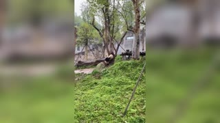 Adorable Panda Tries To Save Furry Pal Stuck Up Tree