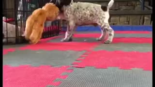 Puppy plays with toy