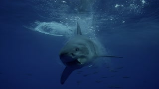 Check Out This Face-To-Face Encounter With A Great White Shark