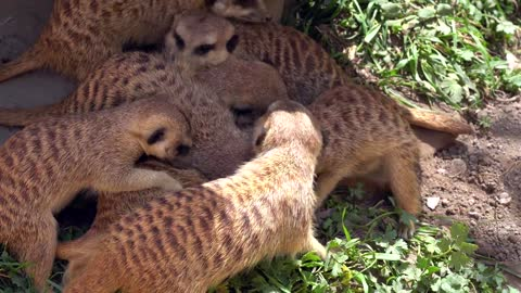 Meerkats play with each other
