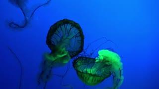 Strange Jellyfish Glowing in the Ocean Deep