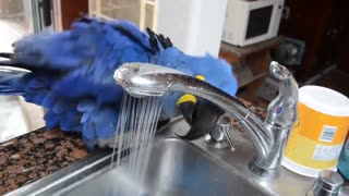 sweet parrot bathing
