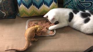 Cat Helps Bearded Dragon Eat Breakfast