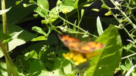 Butterfly On a Dandelion