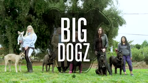 Cane Corsos - The $10,000 Dogs Of War