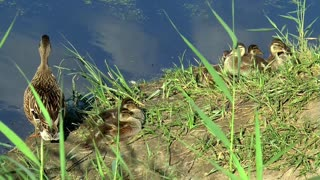Mother duck with her chicks