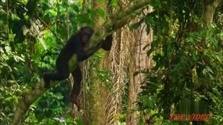 Amazing bonobos(apes) mating like humans