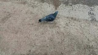 Lone pigeon on the pavement.