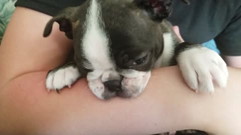 Little dog trying to nurse on a arm