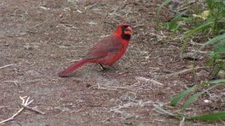 Northern Cardinal bird feeding on seeds