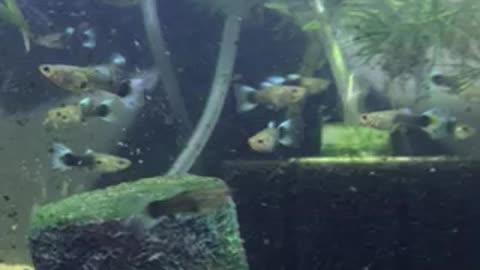 More juvenile guppies!