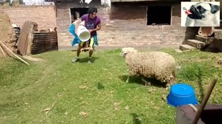 HAVE YOU SEEN THIS SHEEP ATTACKS PEOPLE