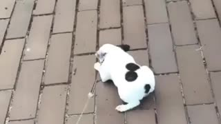 French Bulldog performs adorable puppy crawl when meeting new people