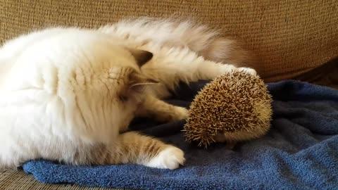 Cat sits on hedgehog