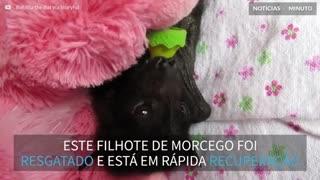 Filhote de morcego é resgatado na Austrália