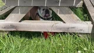 Bulldog understands
