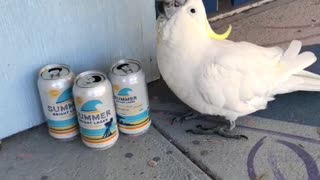 Cockatoo Wants a Cold One