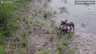 Tarântula tenta lutar contra vespa-caçadora
