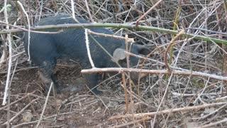April 13, 2021 - Piglet Wounded