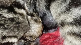 Mom cat snuggling with newborn kitten