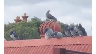 Pigeon action 🎬Pige
