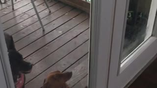 Dog jumping in slow motion against door