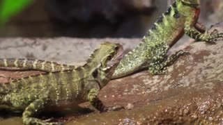 Couple Lizards Fight Over Crickets