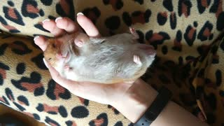 Adorable Sleeping Hamster In Human Hands