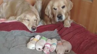 Golden Retriever Parents Watching Over Their Newborn Puppies 😇☺️☺️