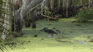 large alligator chasing a smaller one