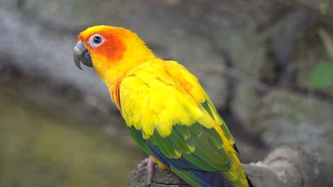 Cute and Yellow Parrot