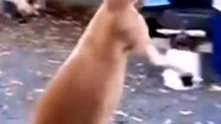 Kangaroo begs for change from people