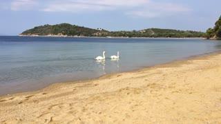 "Skiathos Island "" Swans."""