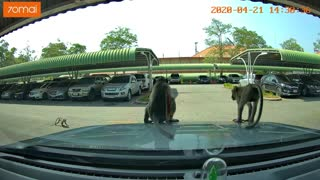 Monkey's Get Busy on Car Hood