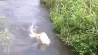 Golden Fish Retriever!!