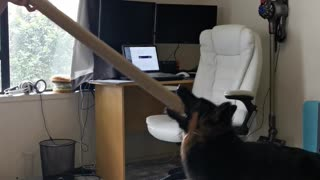 A crazy puppy loses her mind over a simple cardboard tube
