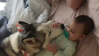 Husky babysitter makes baby giggle