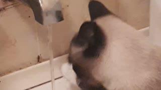 Cat drinks water like a human