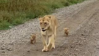 lioness cubs accompanying mother