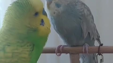 Male lovebird caressing female and trying to get close to her, awesome