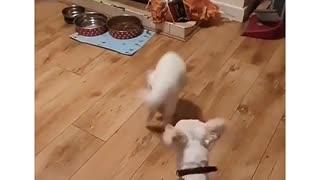 Cat battle armed