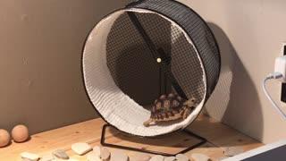 Baby tortoise walks on hamster wheel