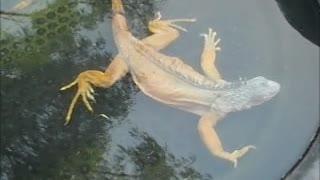Watch Iguana Who Thinks He's A Crocodile!