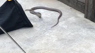 Easy Retrieval of Extremely Venomous Snake