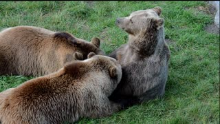 mommy Bear Suckled Her Cubs