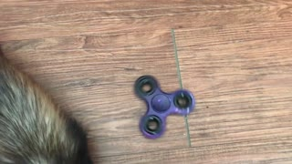 Will ferrets play with a fidget spinner?