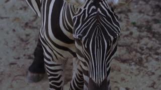 Amazing Zebra Up Close